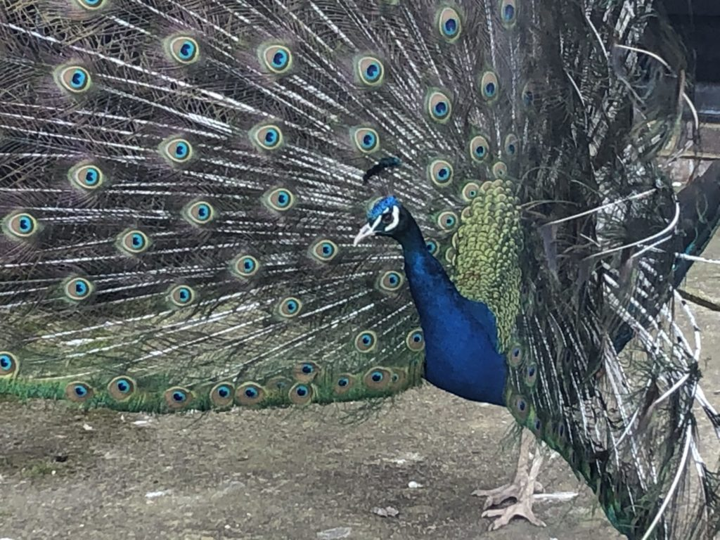 Stand_Out_From_The_Crowd_Peacock